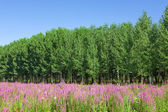 Field of wild flowers with a forest - poplar trees in the backgr — Stock Photo