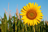 Sunflower against the blue sky and corn field — Stock Photo