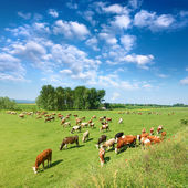 Herd of cows grazing in a sunny morning — Stock Photo