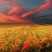 Wheat field and poppies at sunset — Stok fotoğraf