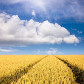Wheat fields towards the clouds at sunny day — Foto de Stock