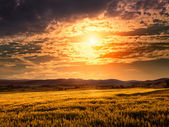 Field of barley at sunset — Foto Stock