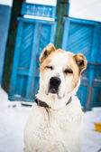 Old Central Asian Shepherd Dog on chain. — Stock Photo