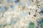 White flowers and bees — Stock Photo