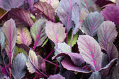 Leaves of red cabbage seedlings — Stock Photo