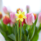 Daffodil in bloom — Stock Photo
