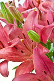 Fresh pink lilies — Stock Photo
