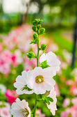 White Hollyhock blossoming — Stock Photo