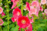 Red Hollyhock blossoming — Stock Photo