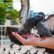 Stock Photo: Pigeons Fighting for food on hand