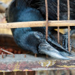 A blind crow is trying to break free from this hell cage. — Stock Photo #27852899