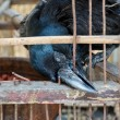 A blind crow is trying to break free from this hell cage. — Stock Photo