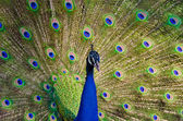 An Indian peafowl is spreading it's tail-feathers to the female — Stock Photo