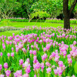 Field of Siam Tulip — Stock Photo