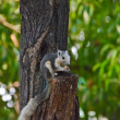 Wild squirrel eating a dry fruit on the tree — Stock Photo