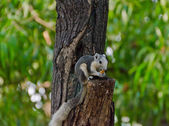 Wild squirrel eating a dry fruit on the tree — Stockfoto