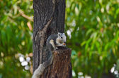 Wild squirrel eating a dry fruit on the tree — Stock fotografie