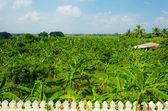 Floresta de banana na área rural da tailândia — Foto Stock