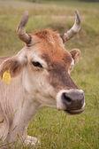 Pasoucí se kráva — Stock fotografie