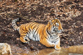 Amur tiger — Stockfoto