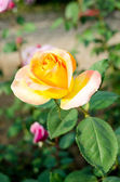 Rose flower — Photo
