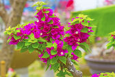 Bougainvillea — Stockfoto