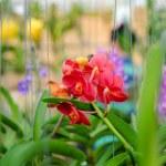 ������, ������: Red vanda orchid