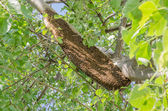 Honeycomb on tree — Stockfoto