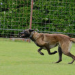 Stock Photo: Malinois, BelgiShepherd