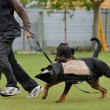 Rottweiler — Stock Photo #27105603