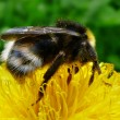 Bumblebee on a flower pollinating — Stock Photo