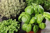 Basil and thyme in flower pots. — Stock Photo