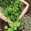 Herbs prepared for planting — Stock Photo #26241733