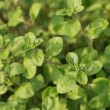 Oregano — Stock Video