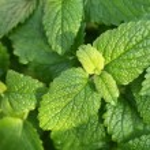 Close-up of lemon balm plant. — Stock Photo