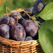 Basket with plums in the garden. — Stock Photo