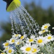 Stock Photo: Detail of watering cwith pouring water and daisy flowers.