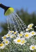 Detail of watering can with pouring water and daisy flowers. — Stock Photo