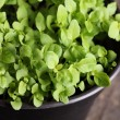 Stock Photo: Close up of basil seedlings in flower pot.