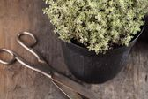 Close-up of thyme in flower pot and scissors. — Stock Photo