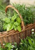 Basket with thyme, basil and rosemary in the garden. — Stock Photo