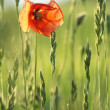 Poppy flower on field. — 图库照片