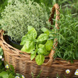 Basket with thyme, basil and rosemary in the garden — Stock Photo