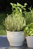 Thyme, basil, rosemary, mint in flower pots — Stock Photo