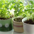 Stock Photo: Fresh herbs in pots on window