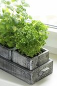 Wooden box with parsley and lemon balm — Stock Photo