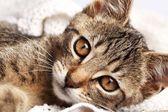 Närbild av katt på filt. — Stockfoto
