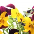 Stock Photo: Close-up of colorful pansy flowers on white background.