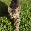 Cat walking in the garden. — Stock Photo