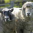 Portrait of sheep and ram looking to camera. — Foto de Stock